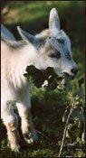 Ferme du Bassin- chèvre