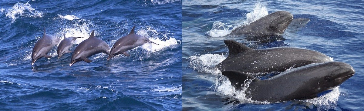 Spinner dolphins & melon-headed whales
